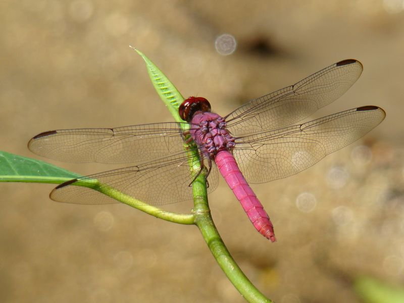 Another Red Dragonfly